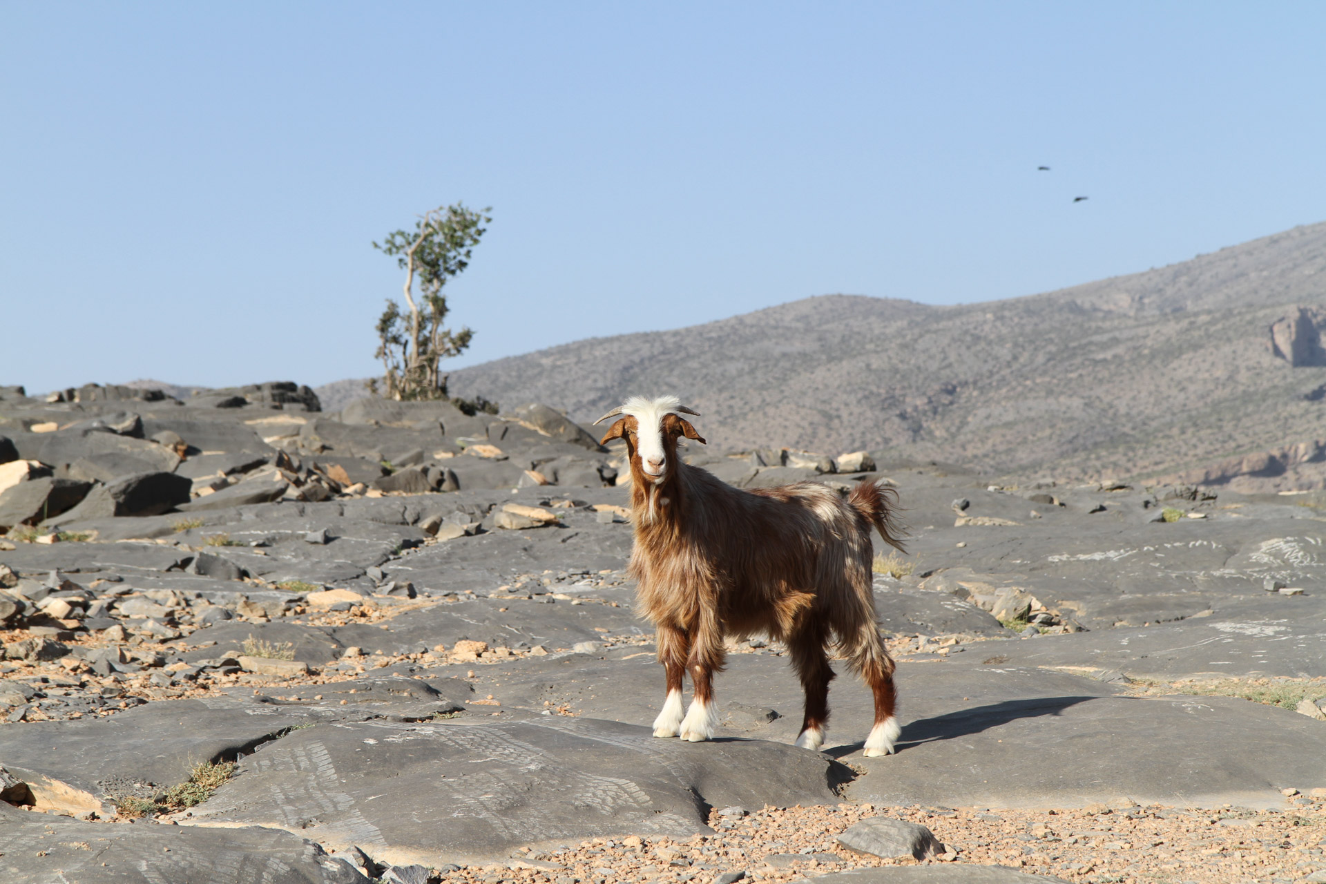 A goat that was really interested at what we were doing on her ground.