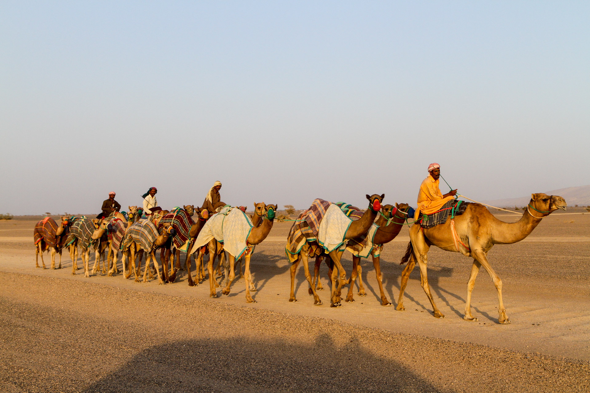 Racing camels are being taken out for exercise.