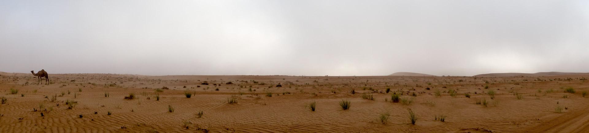 "A ""wild"" camel in the desert."